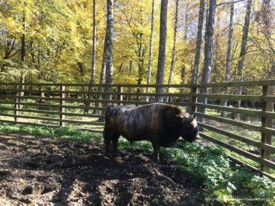 Rezerwat Pokazowy Żubrów w Białowieży